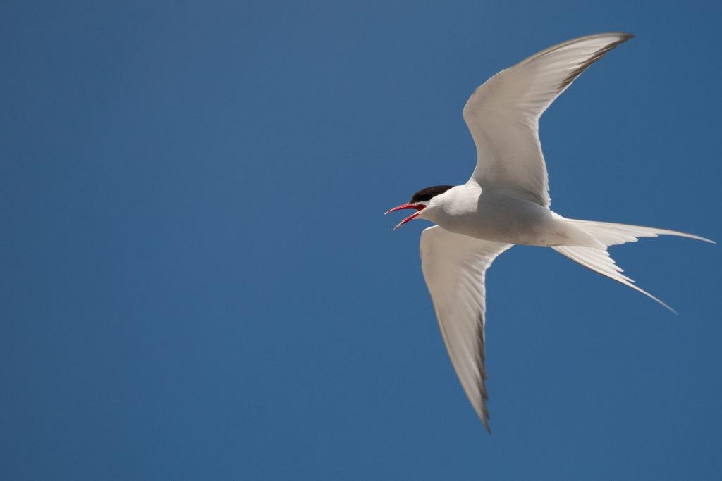 arctic-tern-in-flight