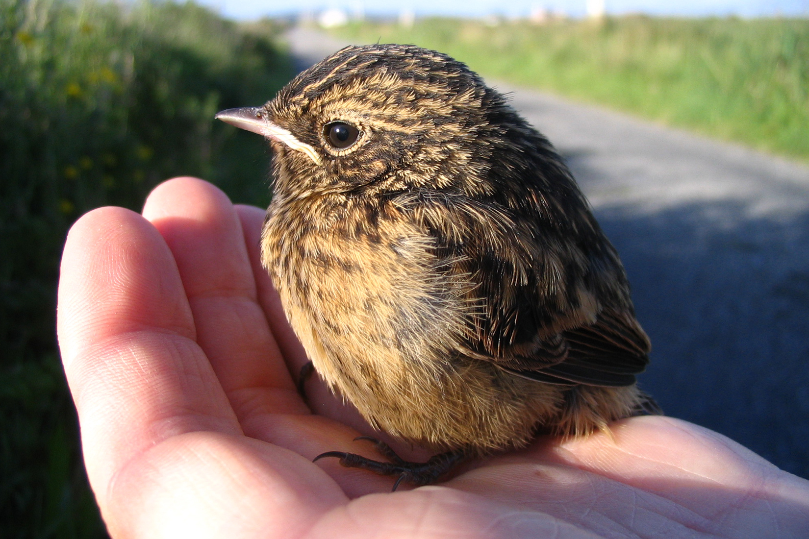 stonechat-chick-in-a-persons-hand