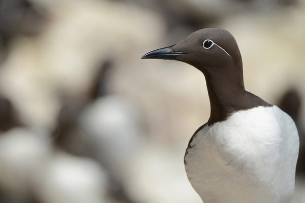 guillemot-with-white-background