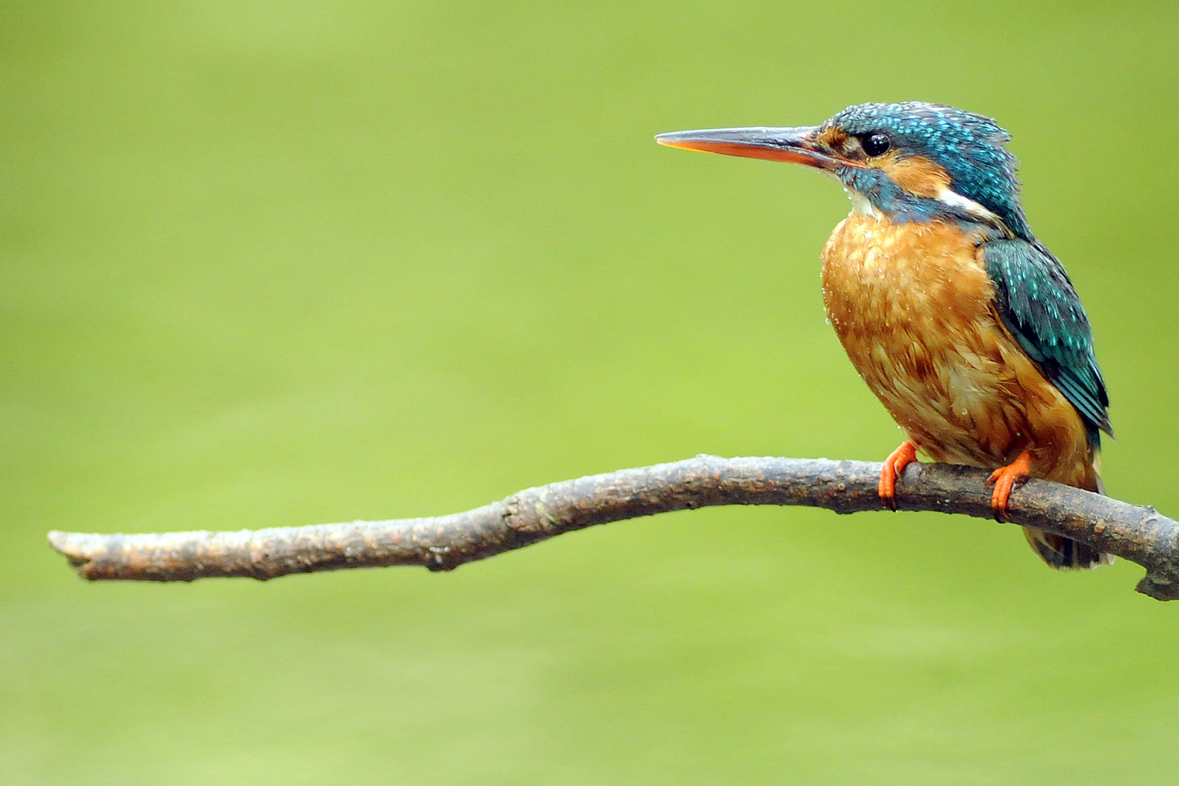 kingfisher-perched-on-branch-looking-left