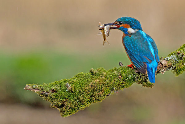 kingfisher-with-stickleback-fish-in-beak-perched-on-branch