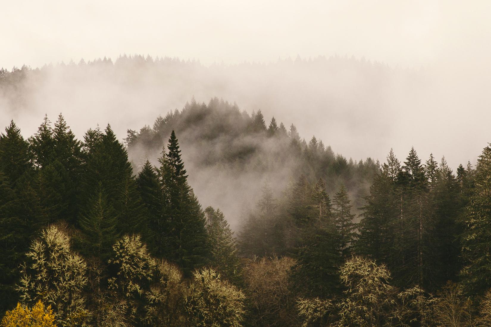 conifer-forest-with-misty-sky-descending