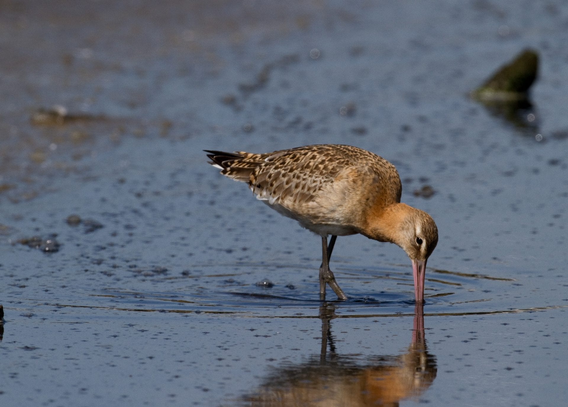 bar-tailed-godwit-probing-mud-with-long-beak