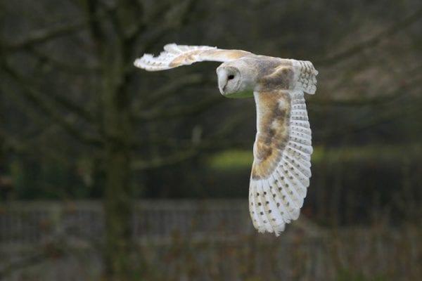 barn-owl-in-flight-with-tree-in-dark-background