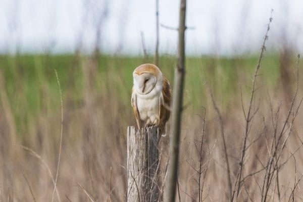 barn-owl-perched-on-a-post-amongst-saplings