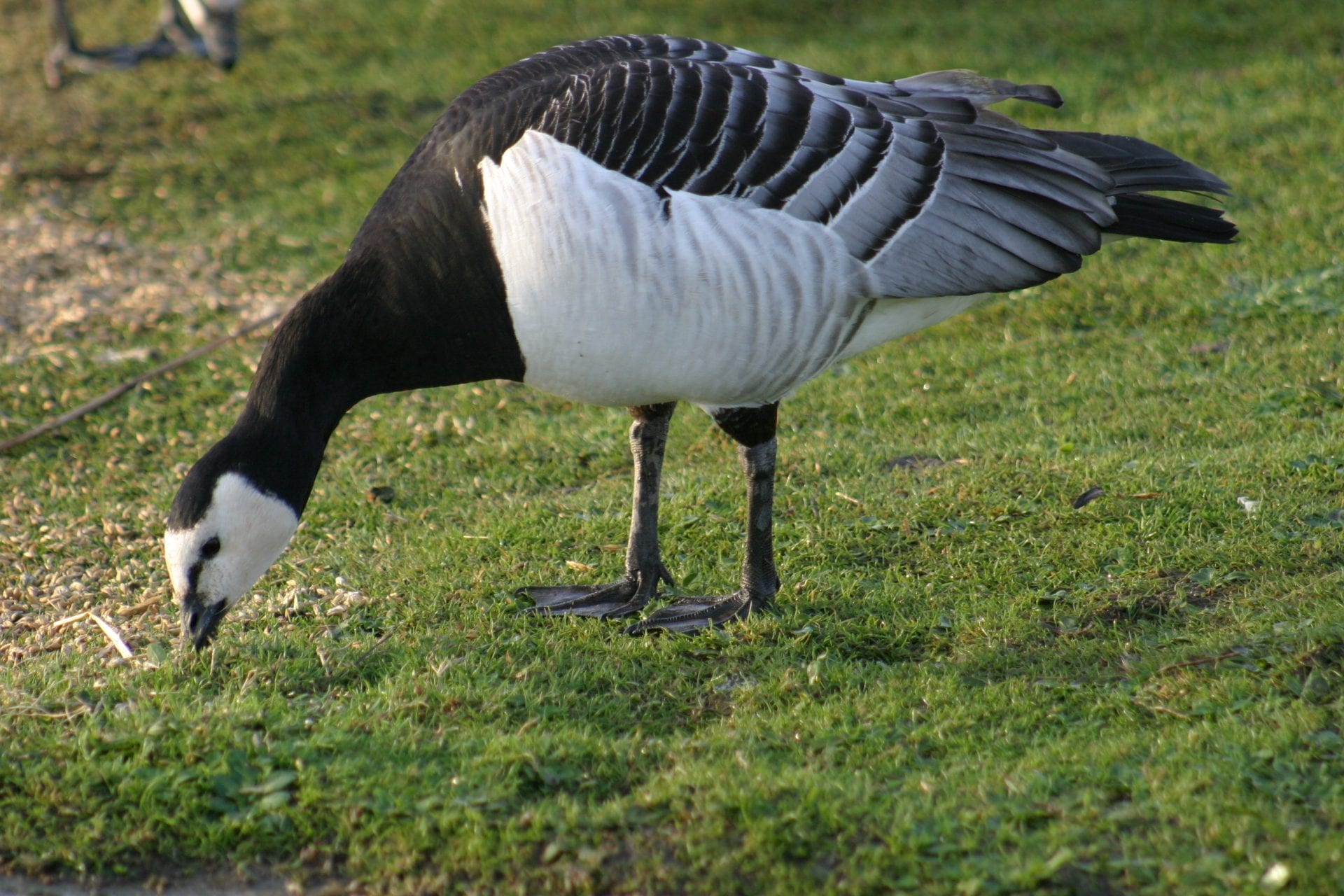 single-barnacle-goose-grazing-on-grass