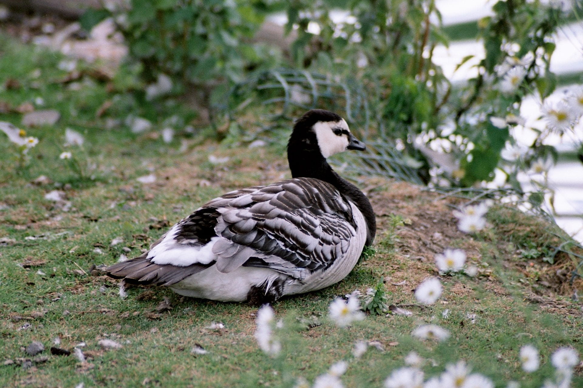 barnacle-goose-sitting-on-the-bank-of-a-pond-surrounded-by-daisies