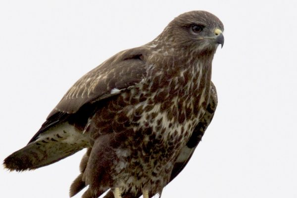 buzzard-perched-on-a-post