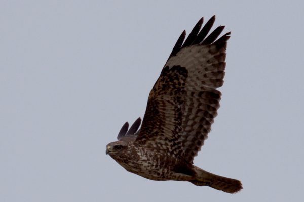 buzzard-in-flight-displaying-wing-feathers