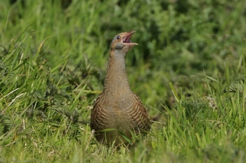 corncrake-sitting-in-field-with-beak-open-calling