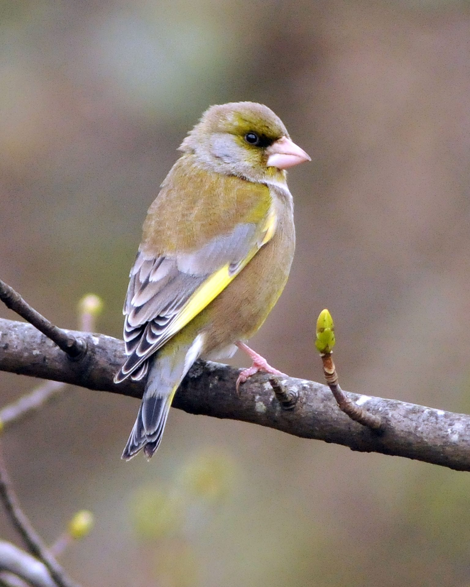 greenfinch-perched-on-a-branch