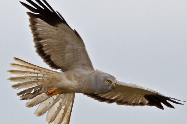 hen-harrier-make-in-flight-with-wings-and-tail-spread