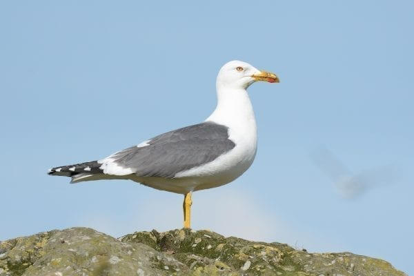 Lesser Black-backed Gull - B Burke