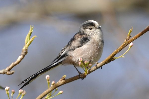 long-tailed-tit-perched-on-branch