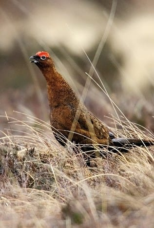 red-grouse-male-sitting-on-heath-calling