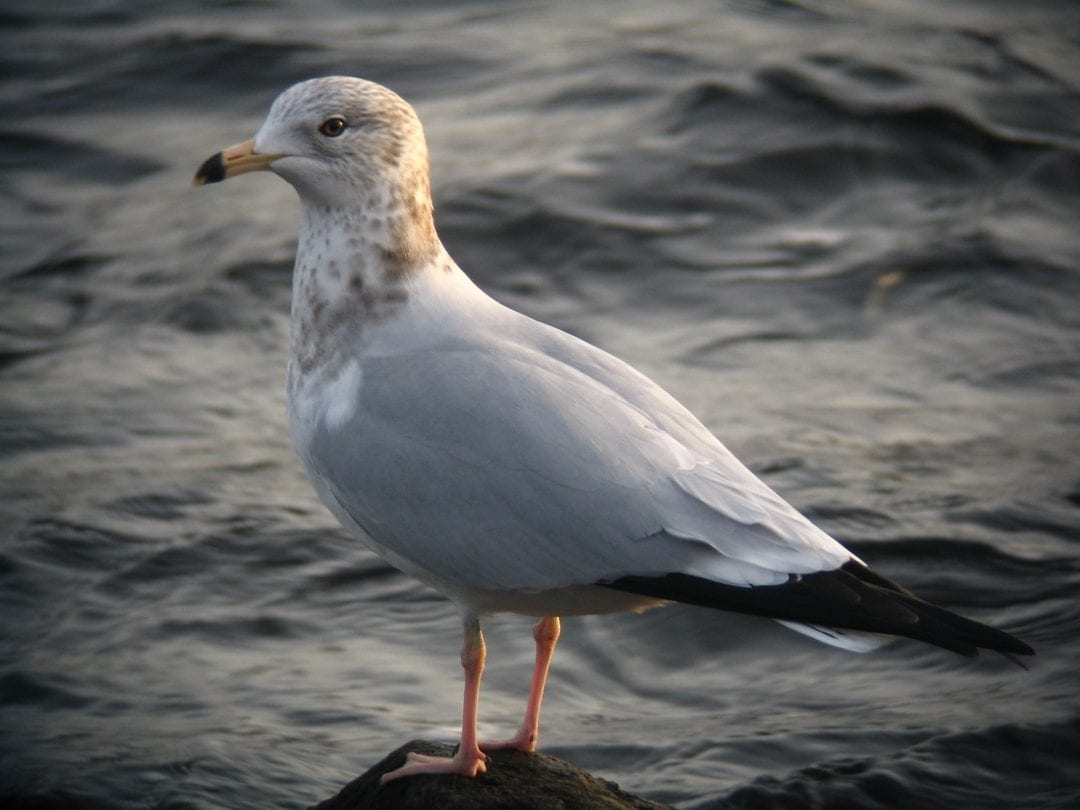 ring-billed-gull-with-sea-background