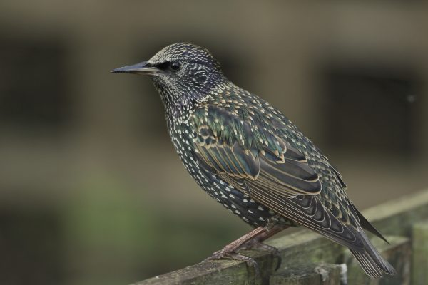 starling-perching-on-wooden-fence