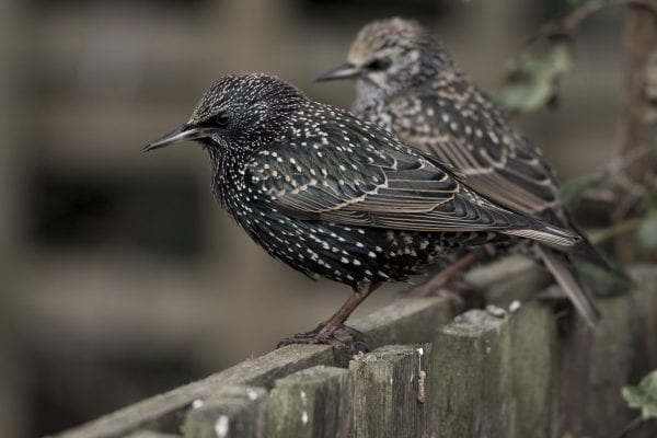 two-starlings-perching-on-wooden-gate