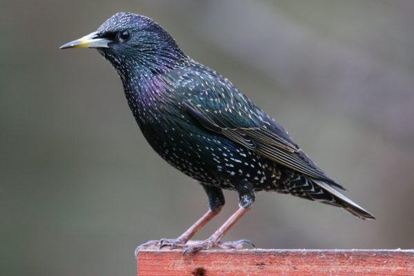 starling-standing