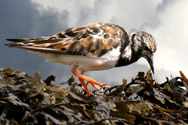 turnstone-foraging-on-bladderwrack