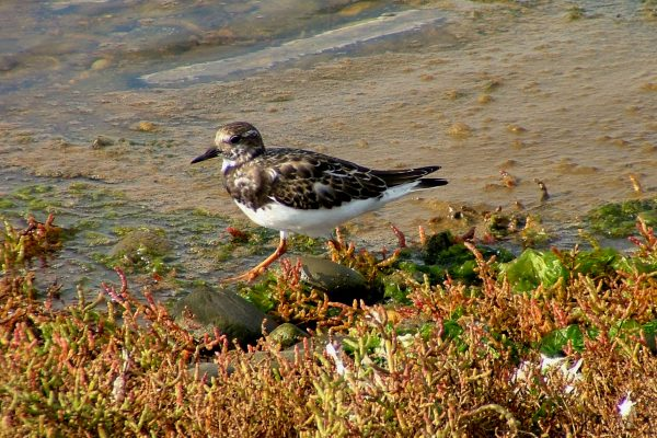turnstone-walking-on-seashore