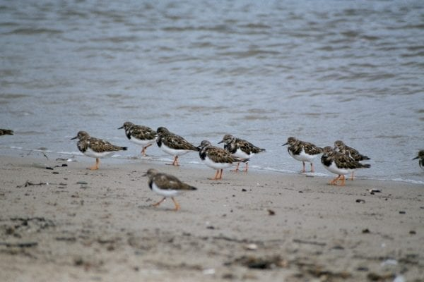 a-number-of-turnstone-standing-on-a-beach