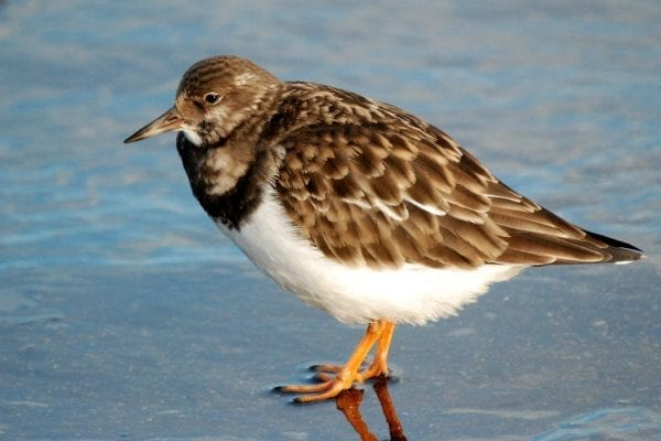 turnstone-stading-in-water