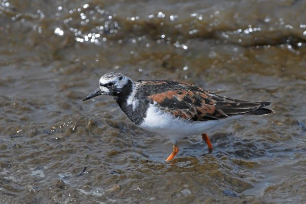 turnstone-wading-through-water