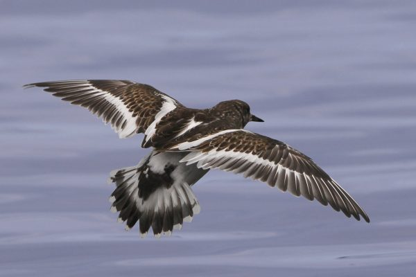 turnstone-in-flight-showing-back-of-wing-feathers