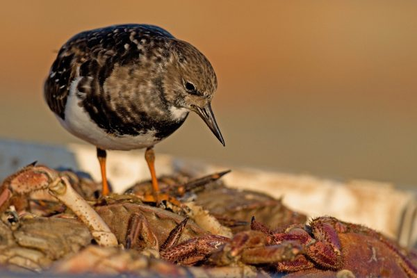 turnstone-looking-down-upon-shore-crab