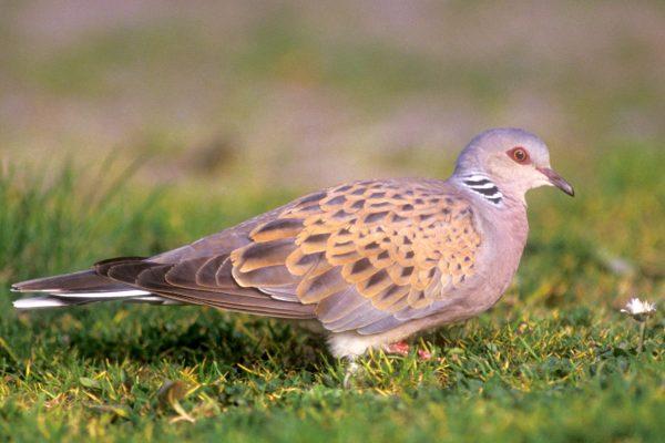 turtle-dove-in-grass-field
