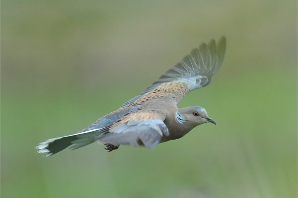 turtle-dove-in-flight