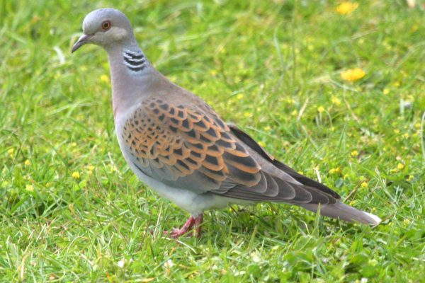 turtle-dove-standing-upright-in-grassy-field