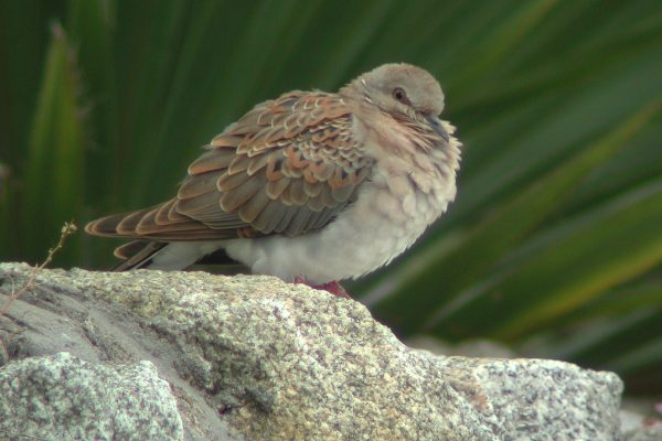 turtle-dove-standing-on-rock