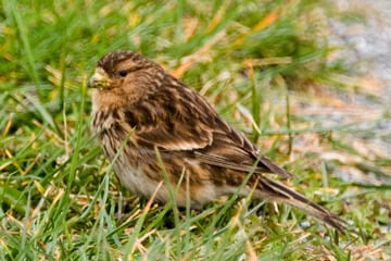 twite-standing-on-grassy-verge