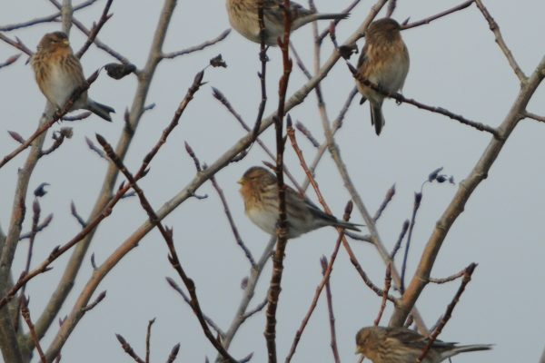 a-number-of-twite-perched-in-a-tree
