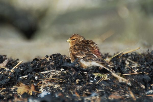 twite-standing-on-seashore-surrounded-by-seaweed