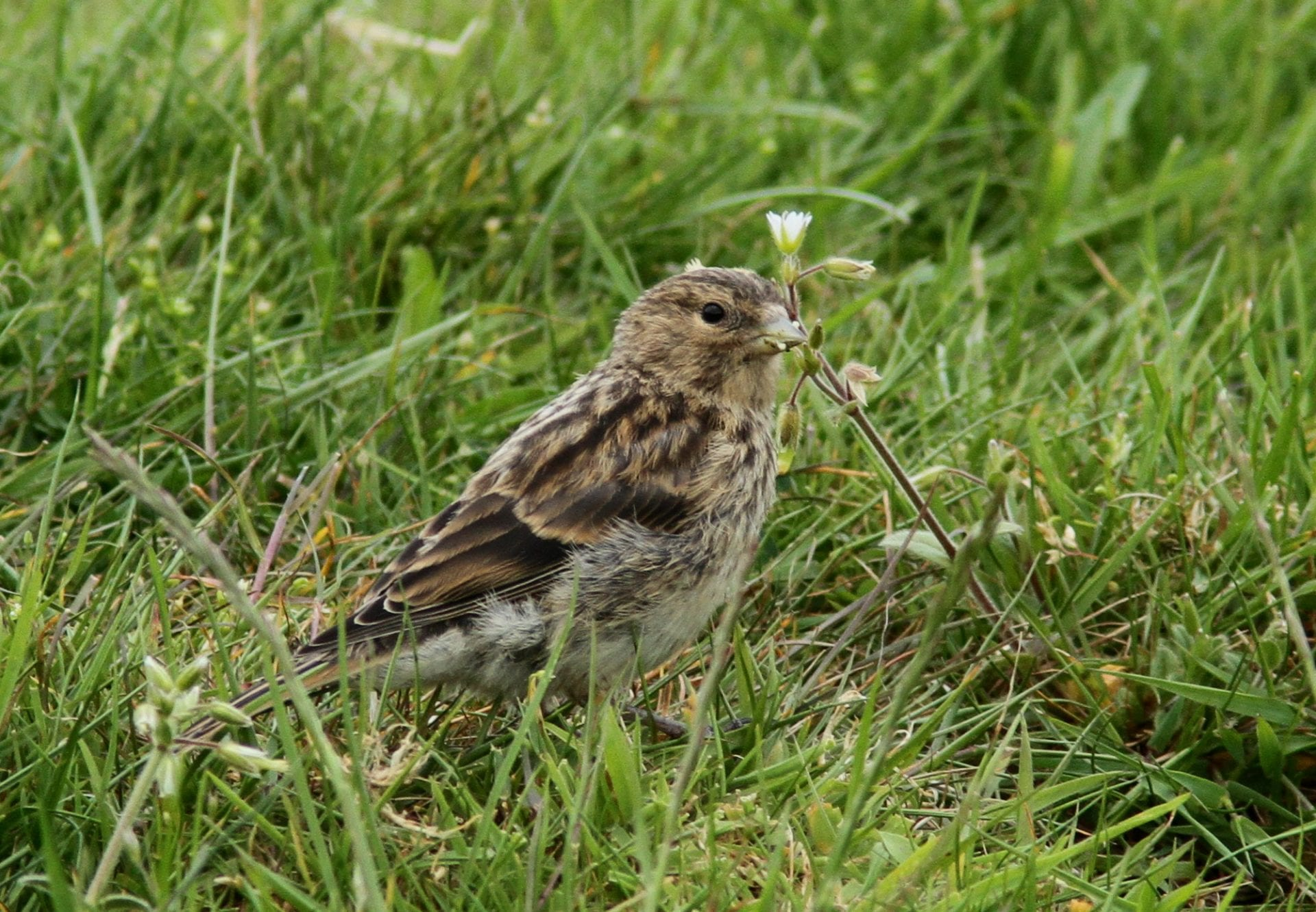 juvenile-twite-standing-in-grass