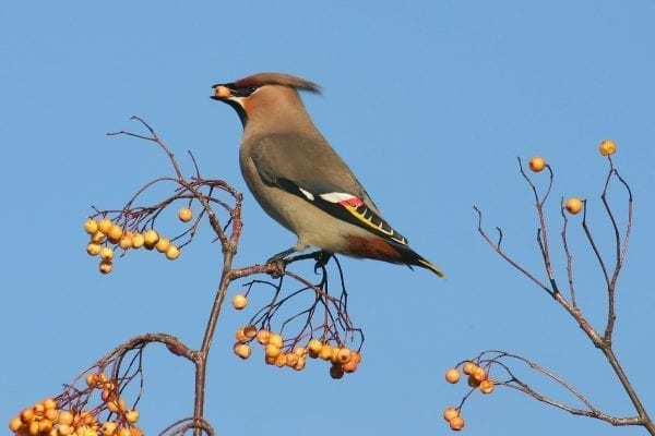 waxwing-side-profile-perched-with-berry-in-beak