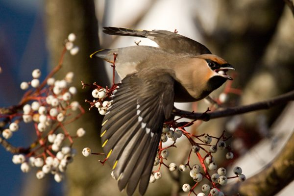 waxwing-taking-to-the-wing-with-berry-in-beak