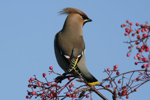 waxwing-displaying-red-and-yellow-wing-feathers