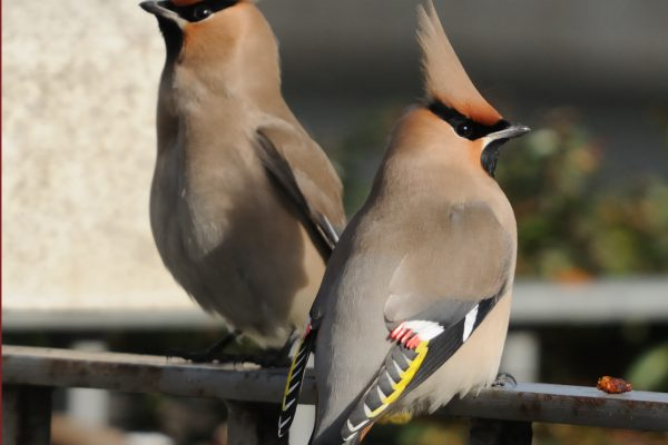 a-pair-of-waxwings-sitting-on-a-railing