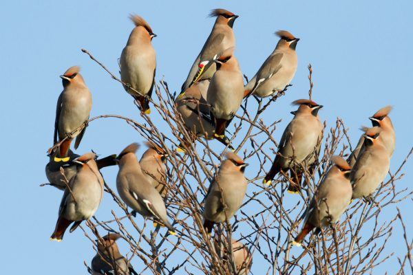 waxwing-flock-perched-at-top-of-tree