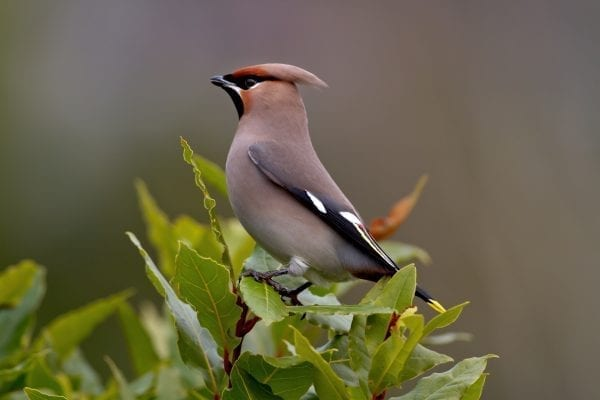 waxwing-perched-on-green-leaves