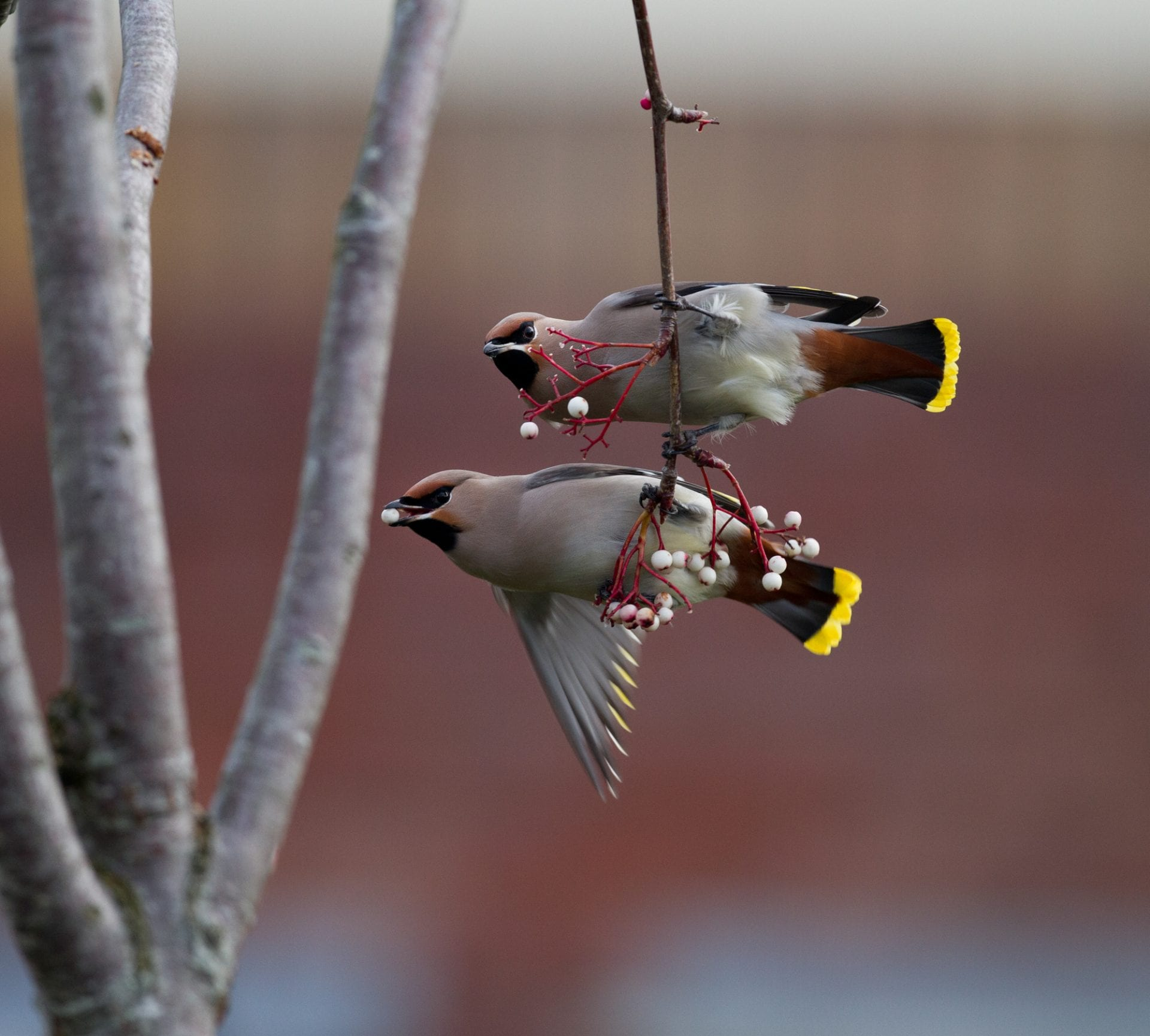 two-waxwings-hanging-on-thin-branch-with-berries