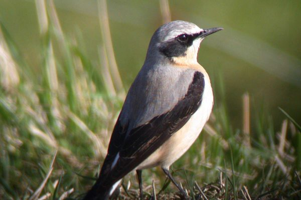 wheatear-standing-in-grass