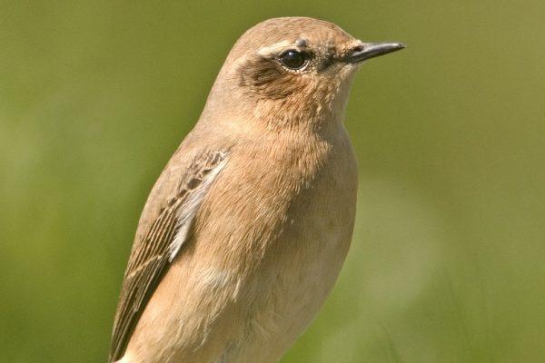 female-wheatear-standing-on-a-rock