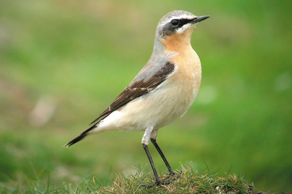 wheatear-standing-on-grass-tuft
