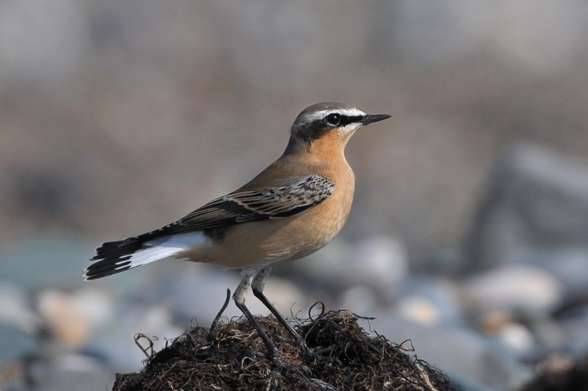 wheatear-perched-on-seaweed