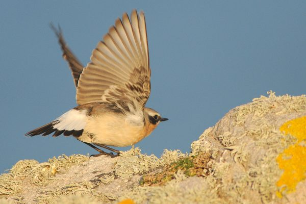 wheatear-taking-to-the-wing